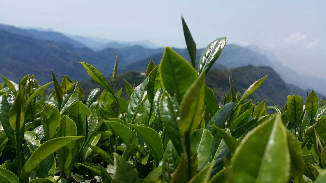 阿里山 石棹 金萱茶