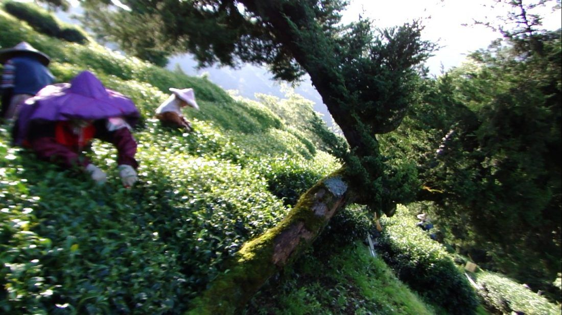 華崗茶區採茶