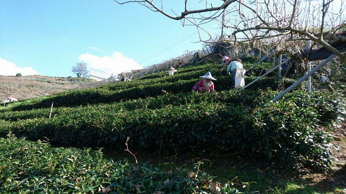 梨山冬片茶採收
