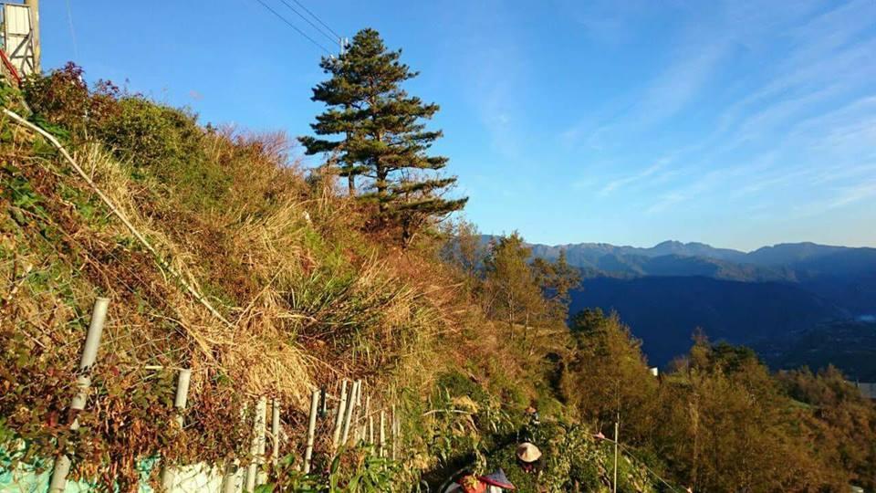 福壽山冬片採收