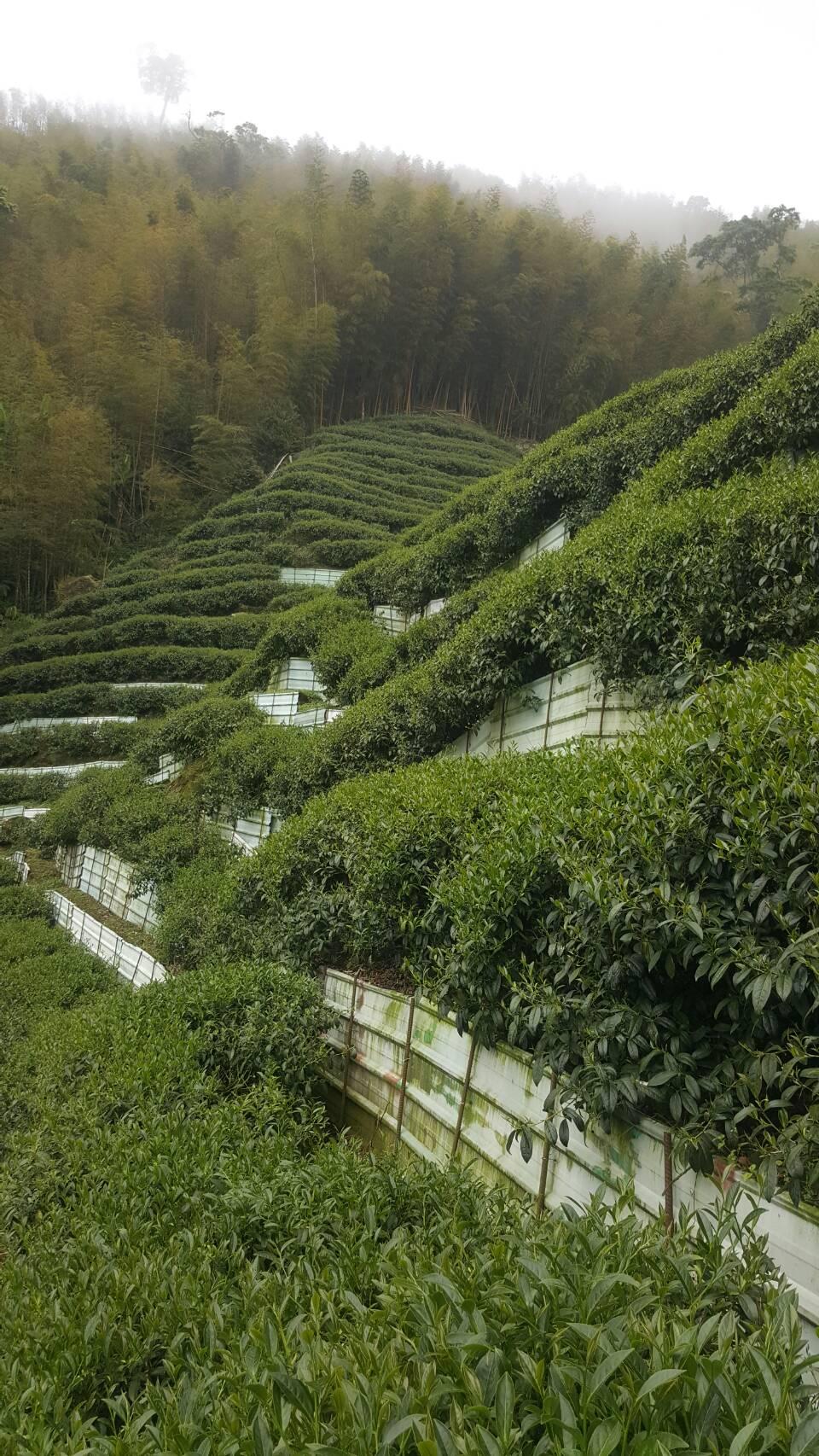 杉林溪 黑猪茶園