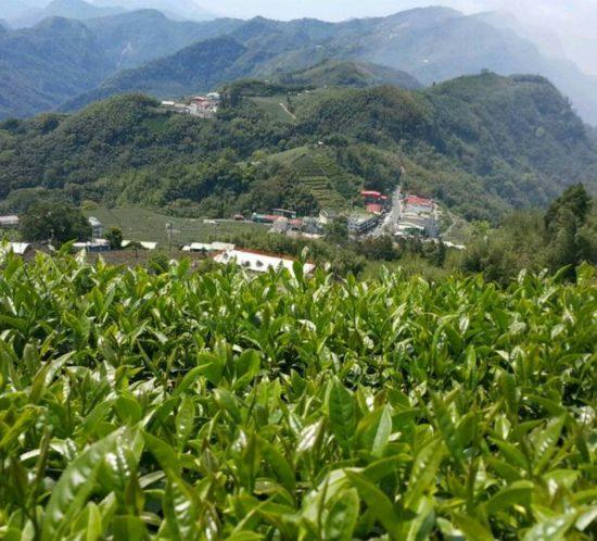 阿里山金萱茶(石棹)