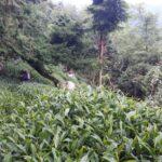 華岡台灣第一等 茶園採茶