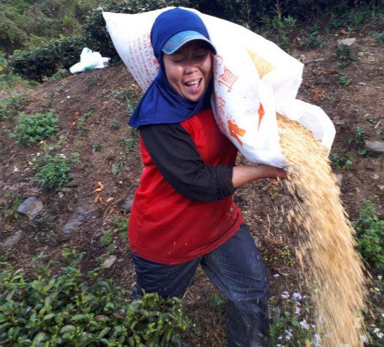 樂菁茶業高山茶園採用豆餅施肥